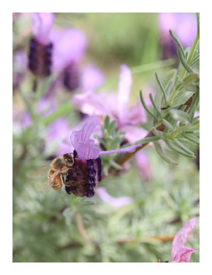 Italian Lavender with Bee