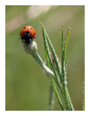 Ladybug - Catherine's Creek