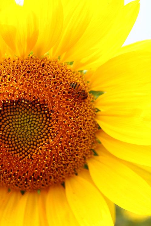 Sunflower Bee in Upper Right