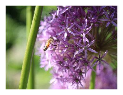 Bee on Purple Puffball