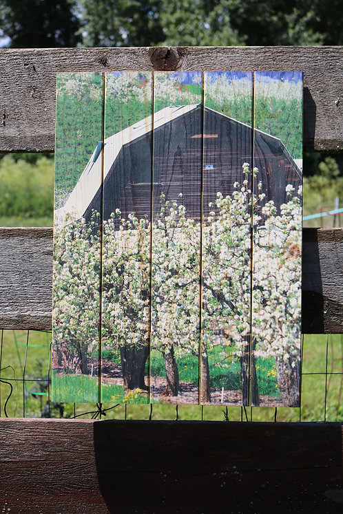 0091- Barn and White Blossoms