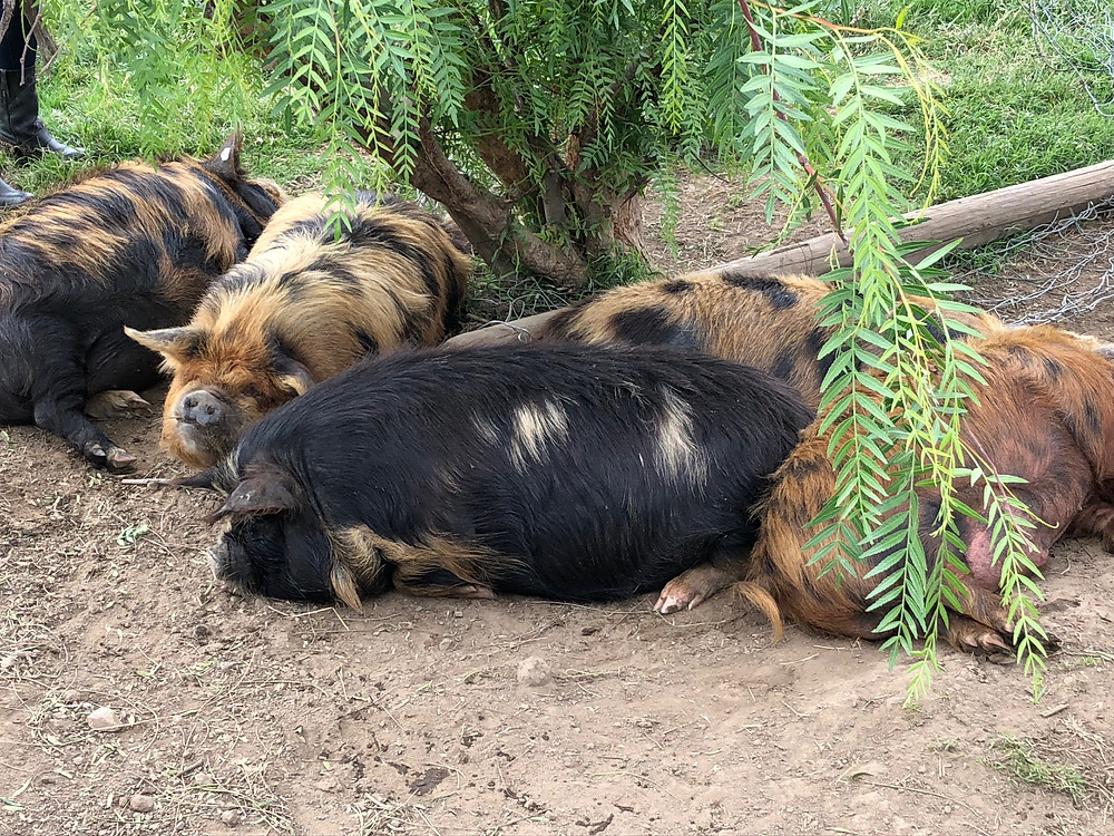 pigs resting in the shade of a tree on the dirt