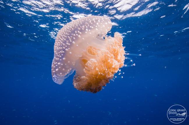 jellyfish kohtao