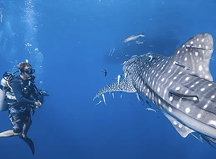 whaleshark kohtao
