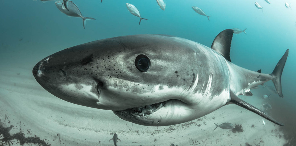 Great white shark close-up