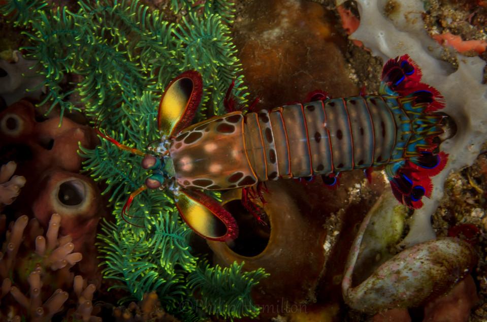 mantis shrimp out