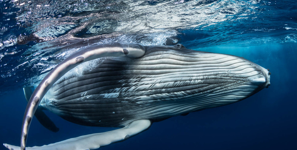 Humpback whale hug