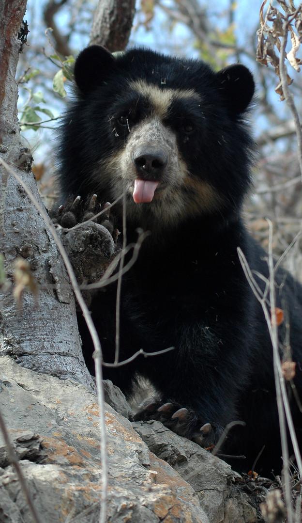 andean bear in peru courtesy robyn apple
