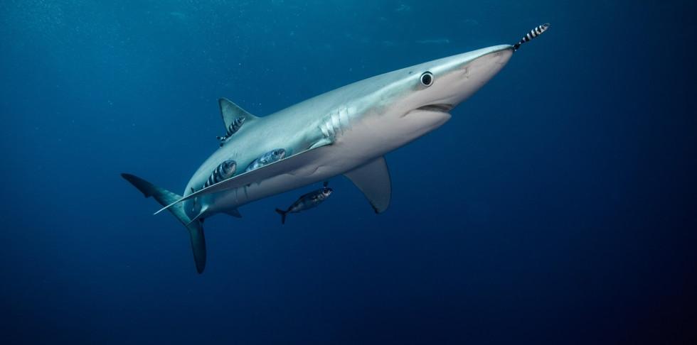 Blue shark and pilot