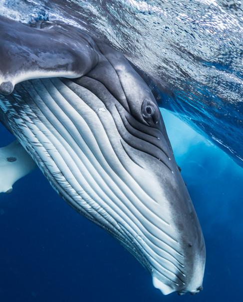 Humpback whale calf I