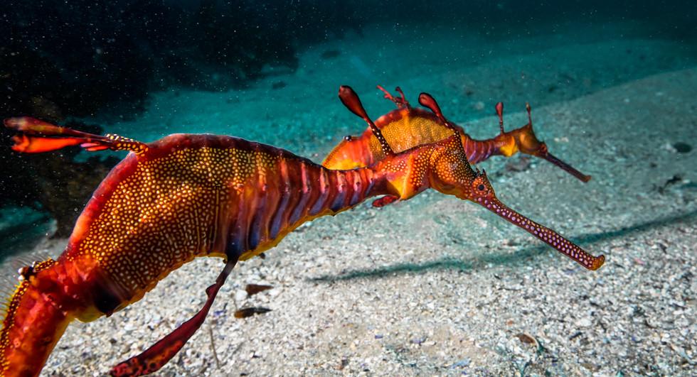 weady sea dragon