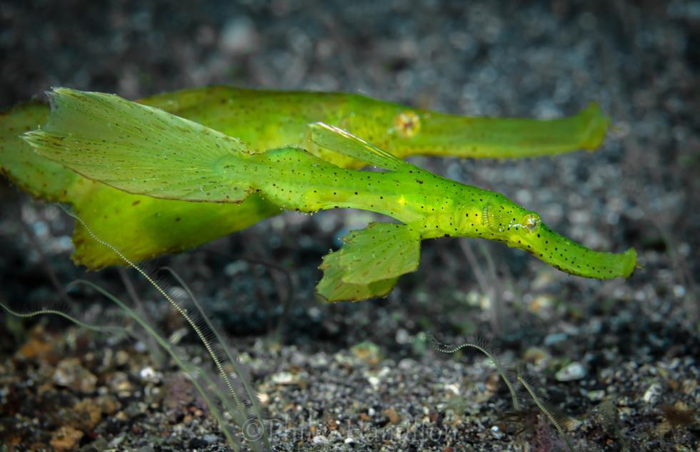 ghost pipefish