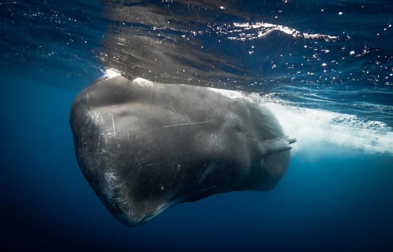 Male Sperm whale