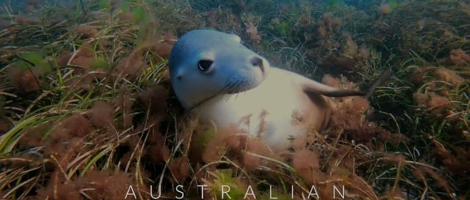 Australian SEALIONS