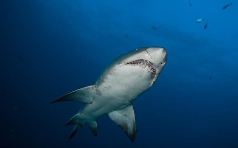 raggie or sand tiger shark