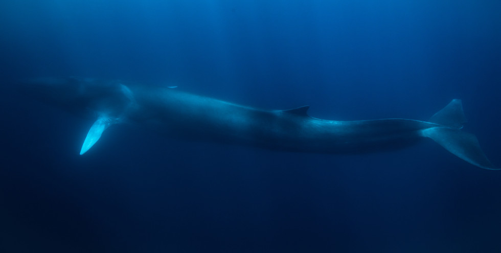fin whale in blue