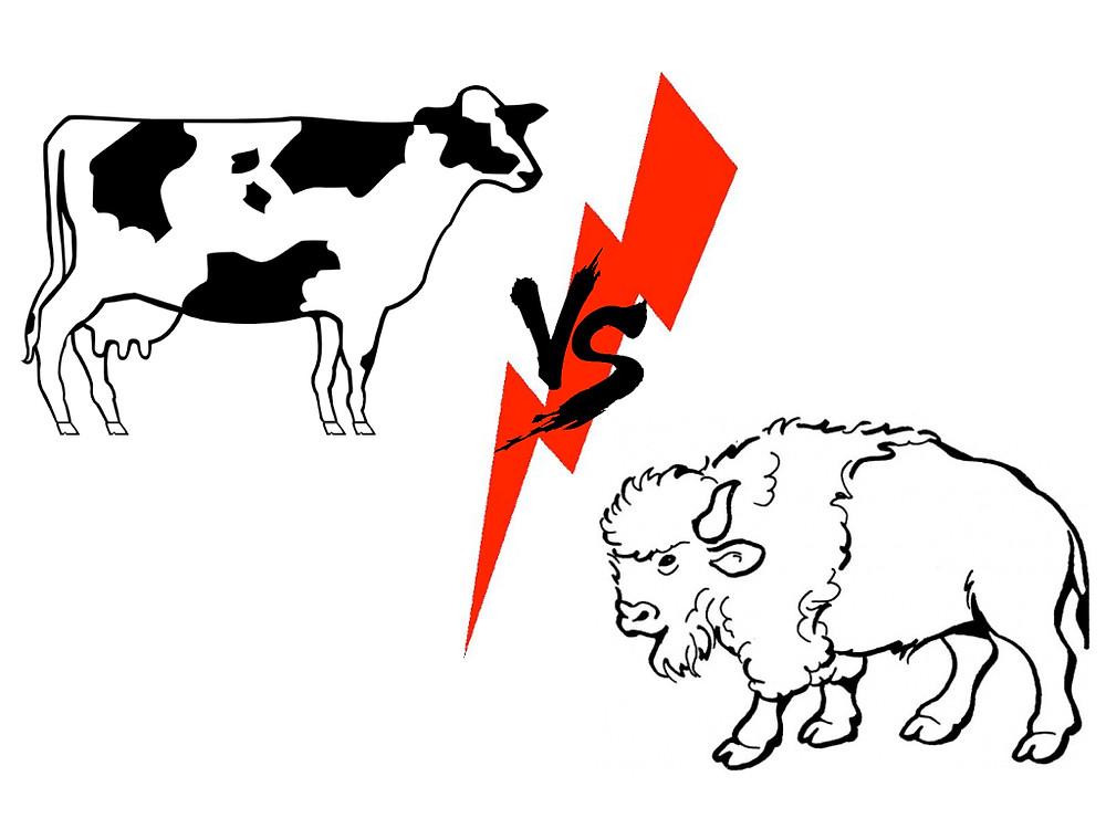 Cow-vs-Buffalo.001.jpg