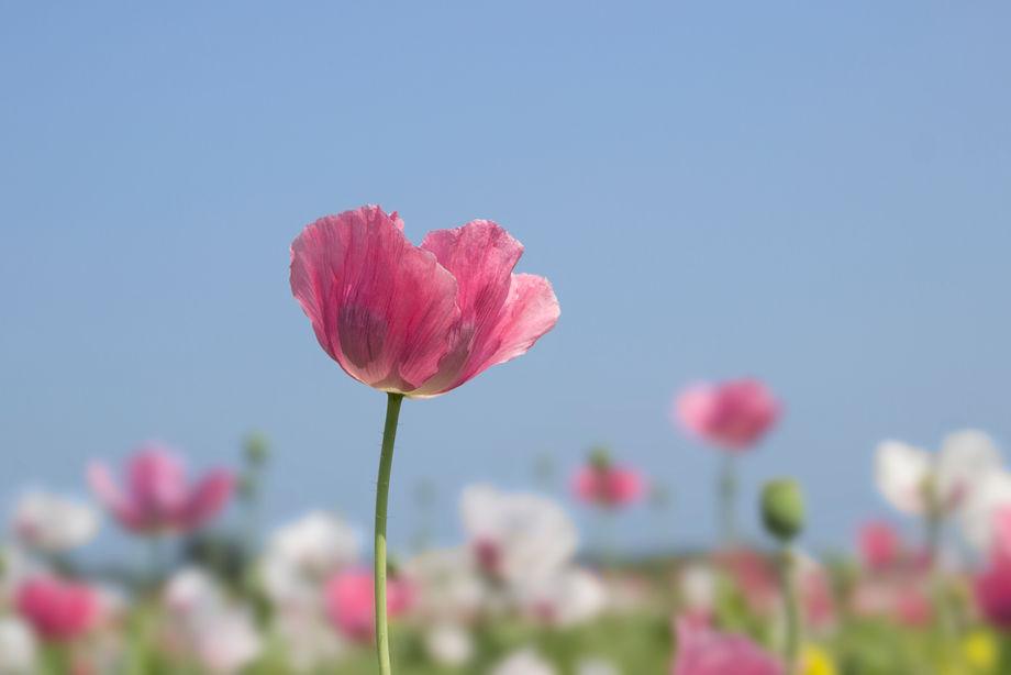 Roze papaver