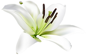 lily-png-46491-nobackground.png