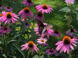 butterflyconeflower