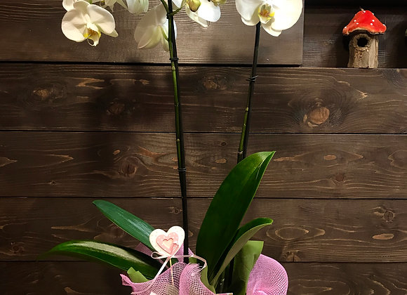 Pinky Orchid