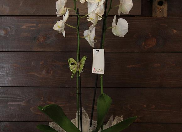 Iceberg Orchid