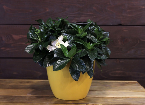 Gardenia Dek
