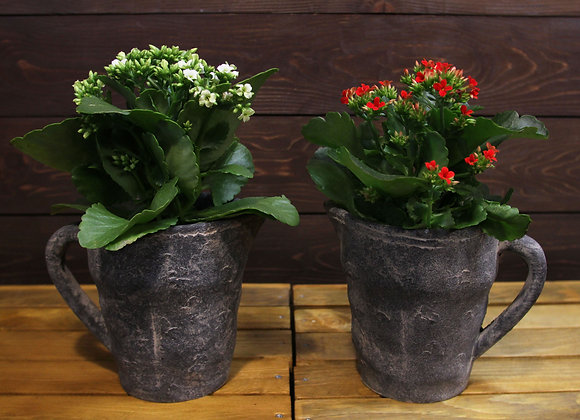 Calanchoe StoneCup