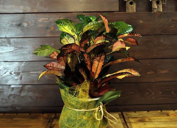 Croton Multicolor