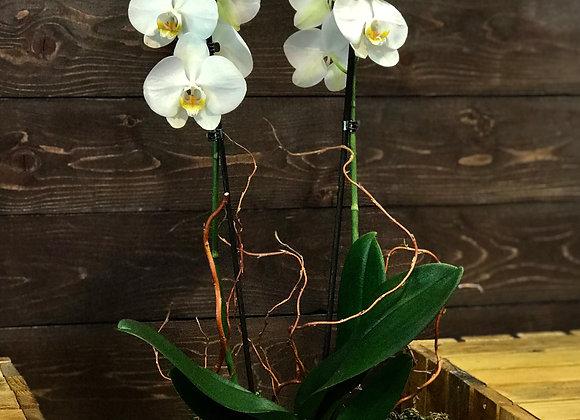Orchid ne Vazo Guri