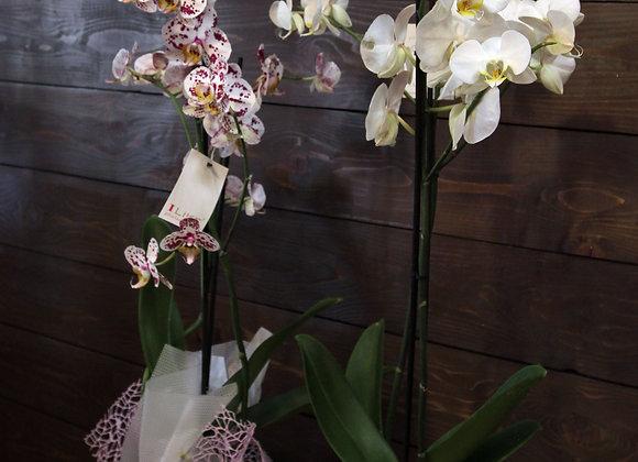 Orkidea Phanaelopsis