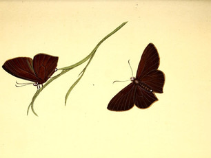 Maya Falks