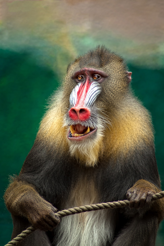 The humble baboon