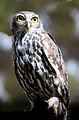 Barking Owl.png
