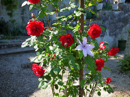 j adore les  roses et les clématites