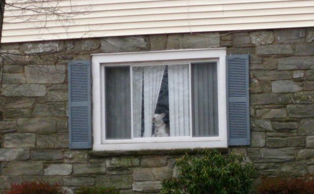 dog gazing out window