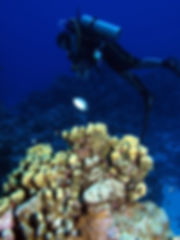 Diver plus coral.jpg