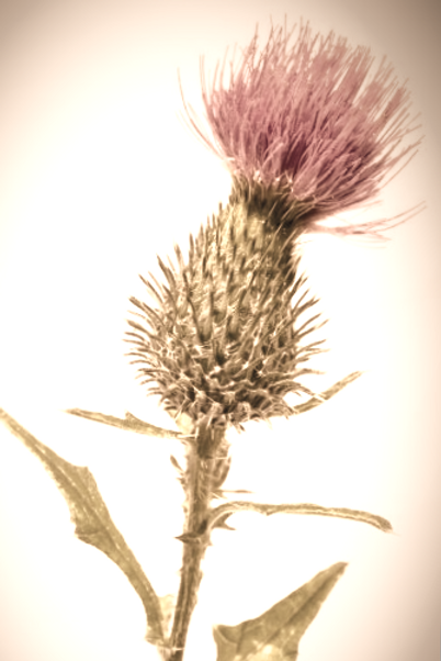 depositphotos_80309212-stock-photo-silybum-marianum-milk-thistle-flower%252520(002)_edited_edited_ed