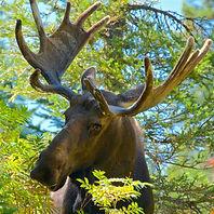 YNP - Moose 24 DONE.jpg