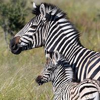 Q - BT - Zebra 2 DONE.jpg