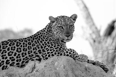2013 - Leopard 20a DONE.jpg