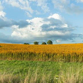 Premier quinoa planté sur le sol belge