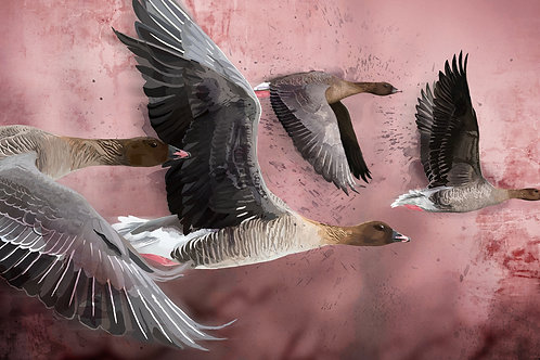 Pink Footed Geese Over Langford Lowfields - ORIGINAL