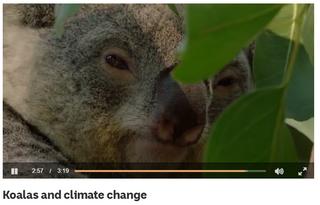 Koalas and climate change