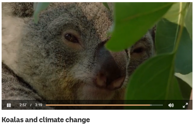 Koalas and climate change