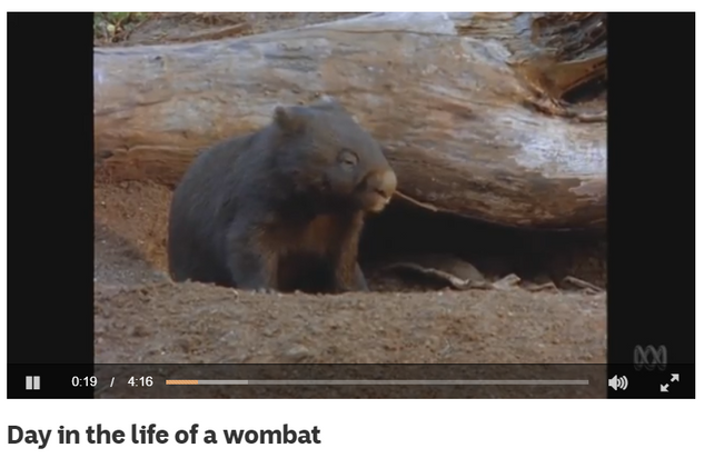 Day in the life of a wombat