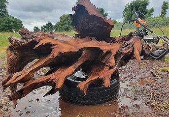 Water blasted oak tree root