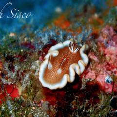 White margin nudibranch (Glossodoris rufomarginata)