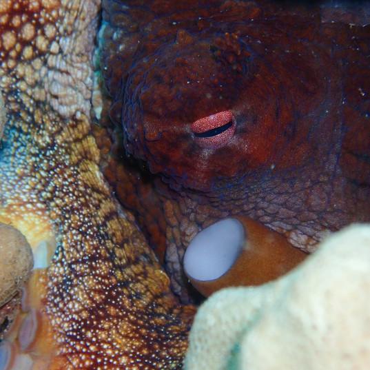 Octopus hide-and-seek