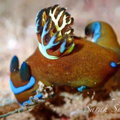 Gloomy nudibranch (Tambja morosa)
